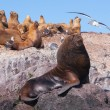 Sea lions in Patagonia — Stock Photo #17673045