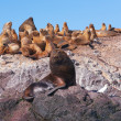 Sea lions in Patagonia — Stock fotografie