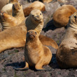 Sea lions in Patagonia — Stock Photo #17673105