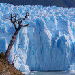 Stock Photo: Tree on Glacier Perito Moreno