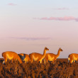 A herd of guanacos in the Pampas at the sunset - Stock Photo