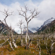 Dead trees on Mount Fitz Roy in Patagonia — Stock Photo