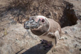 Magellanic penguin looking into the camera — Stok fotoğraf