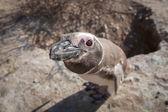 Pingüino de magallanes mirando a la cámara — Foto de Stock