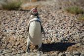 Gritos de pingüino de magallanes en la playa — Foto de Stock