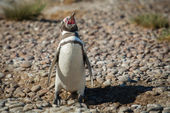Magellanic penguin cries on the beach — Stok fotoğraf
