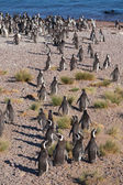 A lot of Magellanic penguins on the beach — Stockfoto