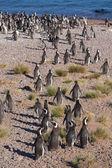 Un montón de pingüinos de magallanes en la playa — Foto de Stock