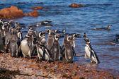 大西洋海岸上的麦哲伦企鹅 — 图库照片