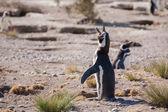 Pingüino de magallanes en la costa atlántica — Foto de Stock