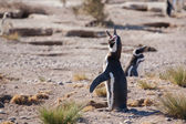Magellanic penguin on the Atlantic Coast — Stock Photo