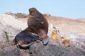 Leones marinos en patagonia — Foto de Stock