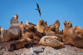 Deniz aslanları patagonya  — Stok fotoğraf