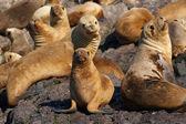 Leoni marini in patagonia — Foto Stock