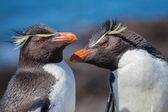Rockhopper 企鹅在巴塔哥尼亚 — 图库照片