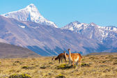 Wild guanacos in the National Park Perito Moreno Glacier — Stock Photo