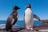 Rockhopper penguen, patagonya — Stok fotoğraf