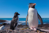 Rockhopper penguin,Patagonia — Stock Photo