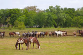 Herd of horses grazing — Stockfoto