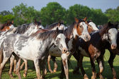 A herd of horses — Stock Photo
