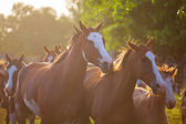 The horses — Stock Photo