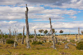 Dead trees in Patagonia — Stock Photo