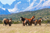 Wild horses in the National Park Torres del Paine — Stock Photo
