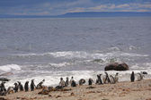Magellanic penguin, Atlantic Coast, Patagonia, Argentina — Stock Photo