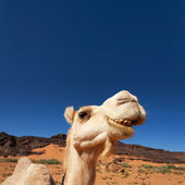 Camel in the Sahara — Stock Photo