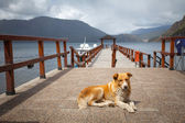 Lonely dog at the pier — 图库照片
