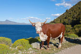 Cow grazing in Patagonia — Stock Photo