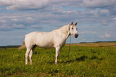 White horse on a leash — Stock Photo