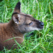 Kangaroo is resting on the grass — Stock Photo