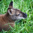 Kangaroo is resting on the grass — ストック写真