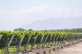 Vineyard in Mendosa — Stock Photo