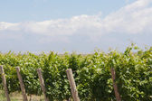 Vineyard in Mendosa — Stock Photo