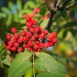 Autumn red rowan berries - Stock Photo