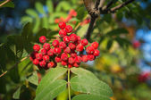 Autumn red rowan berries — Stock Photo