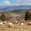 Herd of sheep on a background of mountains - Stock Photo