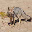 Gray fox — Stock Photo
