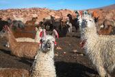 Lama on the Altiplano — Stock Photo
