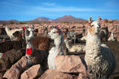 Lama on the Altiplano — Stock Photo