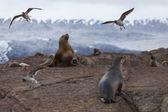 Sea lions in the national park Tierra del Fuego — Stock Photo