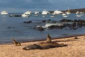 Lachtani na Galapágy — Stock fotografie