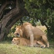 A pair of mating lions in the evening savannah — Stock Photo
