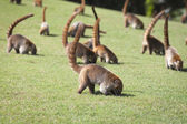 Nasua nasua, South American Coati, Ring-tailed Coati — Stock Photo