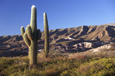 Los Cardones national park in northern Argentina — Stock Photo