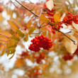 Autumn ash — Stock Photo