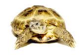 Turtle — Photo