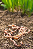 Earthworms on patch — Stock Photo